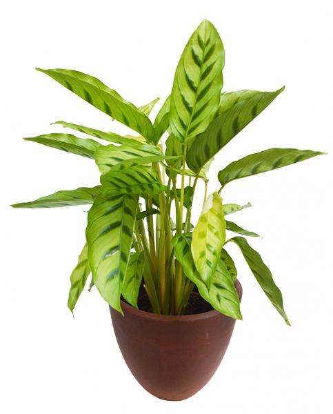Calathea Leopardina House Plant Delivery London Cuemars