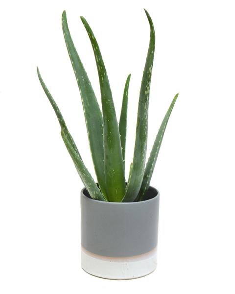 Aloe Vera House Plant | Now at Cuemars