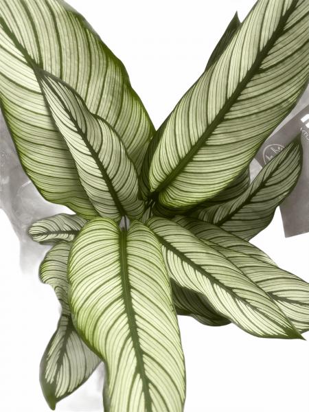 Calethea Prayer Plant